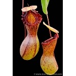 Nepenthes ventricosa 'Madja-as' - Medium Potted