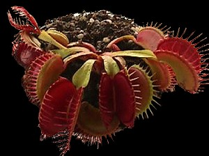Venus Flytrap 'Big Mouth' - small potted